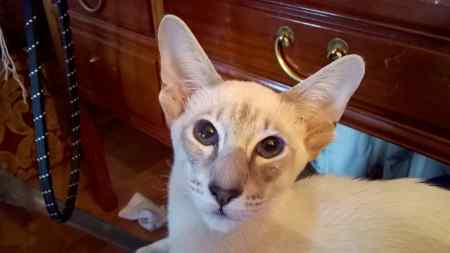 Missing Siamese Cat in COTTERED
