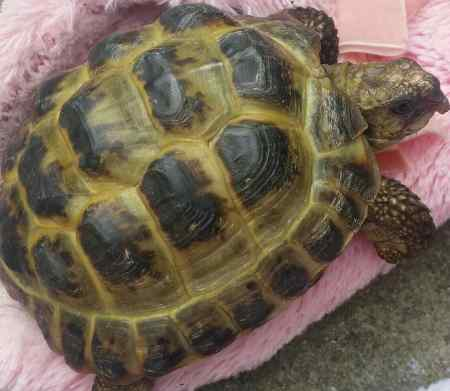 Missing Tortoise Exotic in Fairfield L7