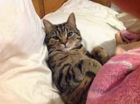 Missing Tabby Cat in Mottram St Andrew
