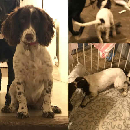 Missing Spaniel Dogs in Winchester