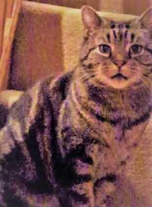 Missing Tabby Cat in Springfield, Chelmsford