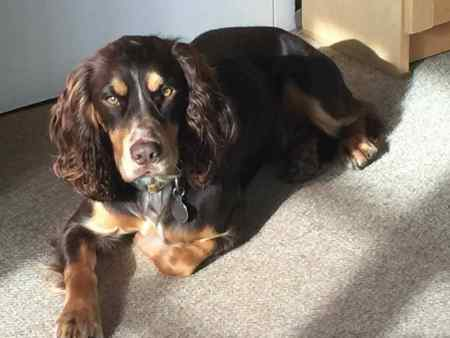 Missing Spaniel Dogs in Kneesall
