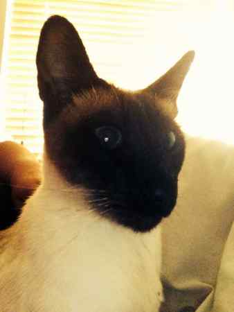 Missing Siamese Cat in North Marston