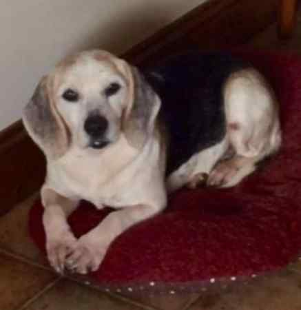 Missing Beagle Dog in Puddington
