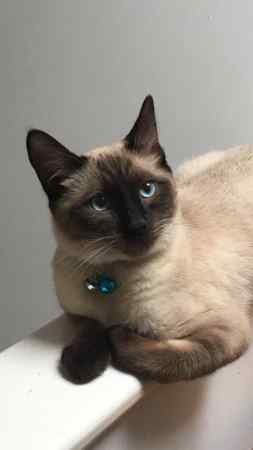 Missing Siamese Cats in Edgware