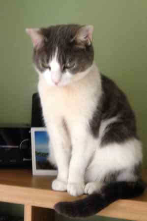 Missing Domestic Short Hair Cats in Cardiff