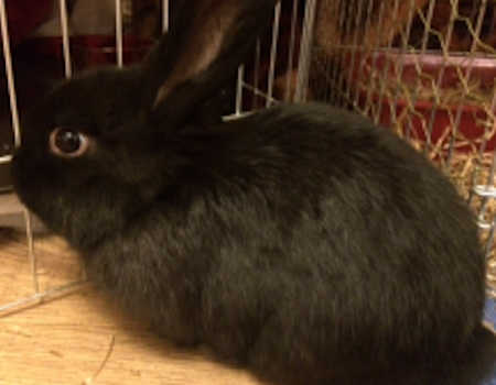Missing Lop Eared Rabbit in Gateshead