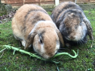 Missing Lop Eared Rabbit in Acocks Green