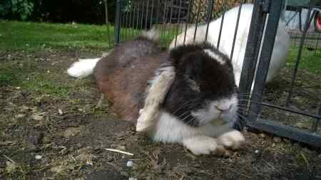 Missing Lop Eared Rabbit in Malvern