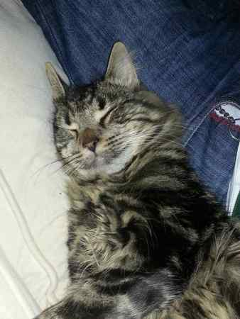 Missing Tabby Cats in Maidenhead