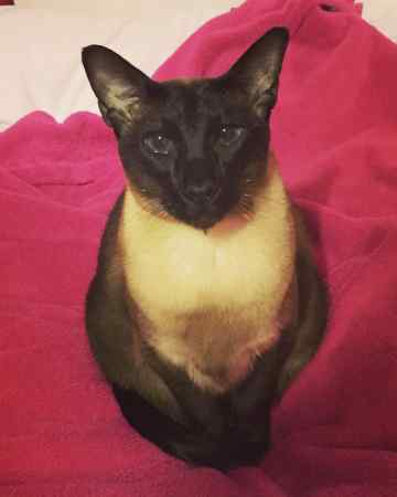 Missing Siamese Cat in Horsell