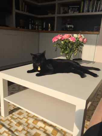 Missing Domestic Short Hair Cat in Weston-Super-Mare