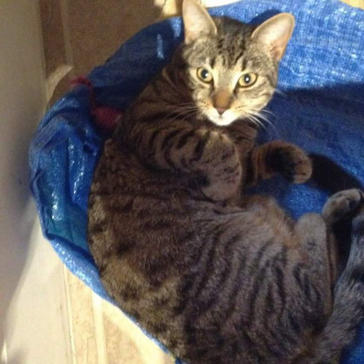 Lost Tabby Cat in Greenfield Saddleworth