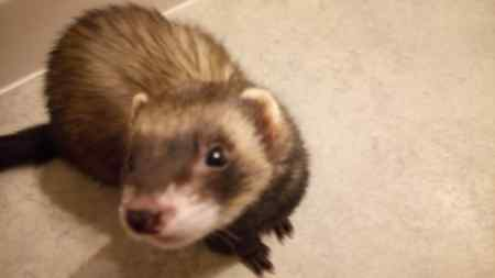 Missing Unknown - Other Ferrets in Sheffield