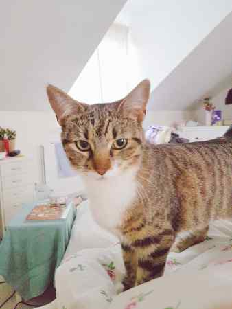 Missing Tabby Cat in Corby