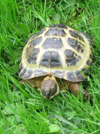 Missing Tortoise Exotic in Godden Green, Sevenoaks