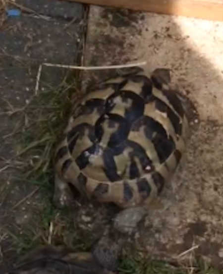 Missing Tortoise Exotic in Hayes