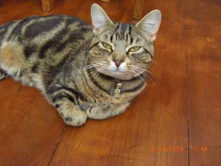 Missing Tabby Cat in Harlow