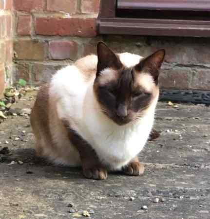 Missing Siamese Cat in Verney Junction