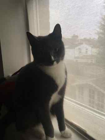 Lost Domestic Short Hair Cat in London
