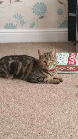 Lost Tabby Cat in Runcorn