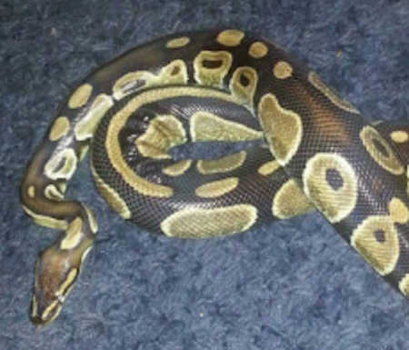 Missing Python Snake in Dartford