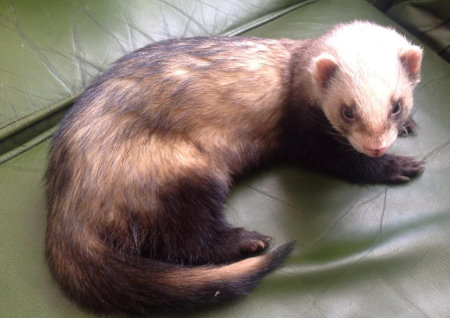 Missing Unknown - Other Ferrets in Hull