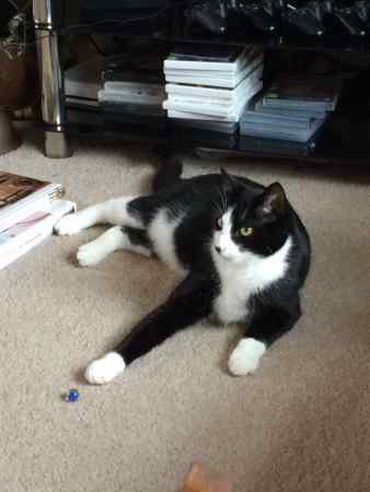 Missing Domestic Short Hair Cats in Salisbury
