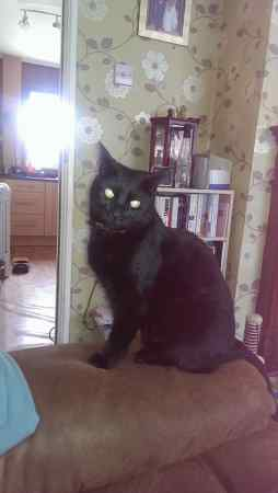 Lost Domestic Short Hair Cat in Fegg Hayes