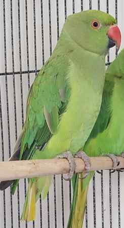 Missing Parrot, Parakeet Birds in Woking