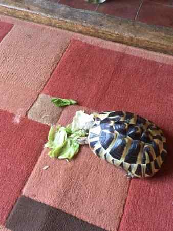 Missing Tortoise Exotic in Borough Green