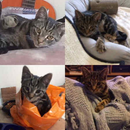 Missing Tabby Cat in Scunthorpe