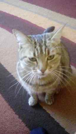 Missing Tabby Cat in Southampton