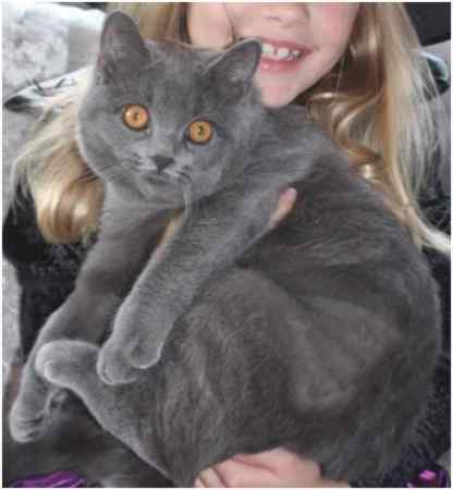 British blue cats lincolnshire