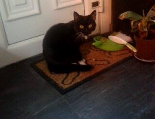 Missing Domestic Short Hair Cats in Wishaw,pather