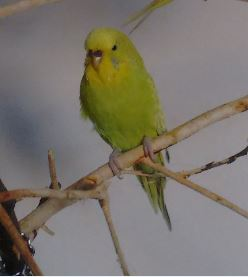 Missing Budgie Birds in South Wimbledon