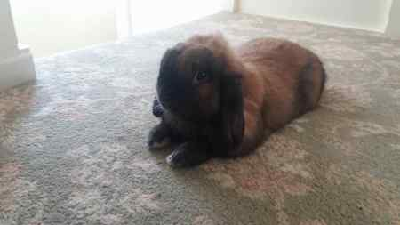 Missing Lop Eared Rabbit in Wolverhampton