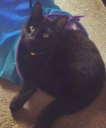 Missing Domestic Short Hair Cats in Bedford