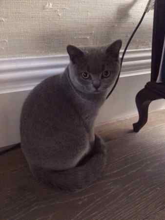 Missing British Blue Cats in London