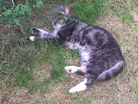 Missing Tabby Cat in Wimbledon