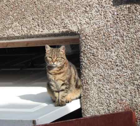 Missing Tabby Cat in Catterall. Preston