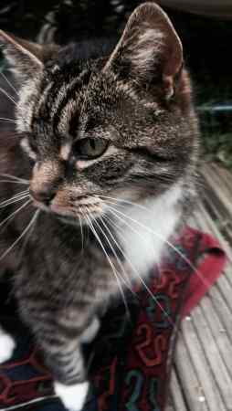 Missing Tabby Cat in Plymouth