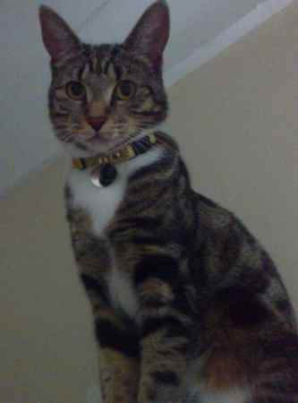 Missing Tabby Cat in Enfield