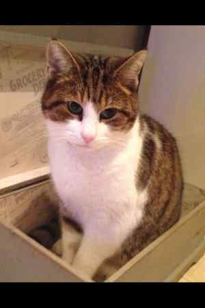 Missing Tabby Cat in Handforth