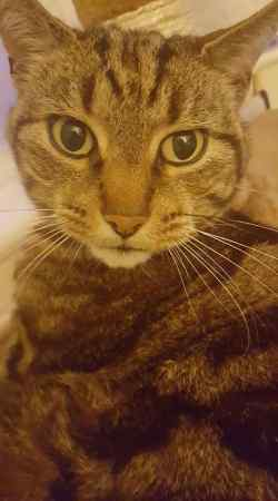 Missing Tabby Cat in Hoylake