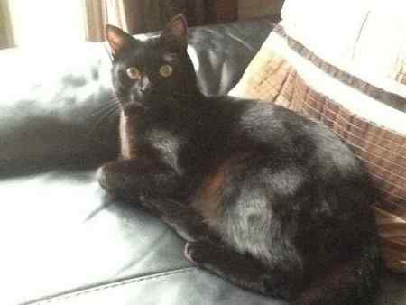Missing Domestic Short Hair Cats in Welwyn Garden City