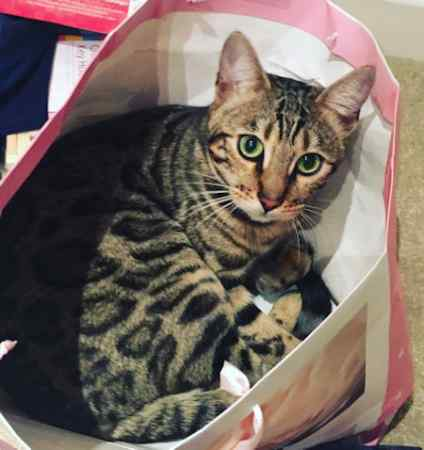 Missing Bengal Cats in North Curry, Taunton