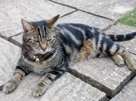 Missing Tabby Cat in Forthampton