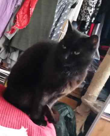 Missing Domestic Short Hair Cats in Woodley