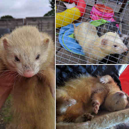 Missing Unknown - Other Ferrets in Southampton